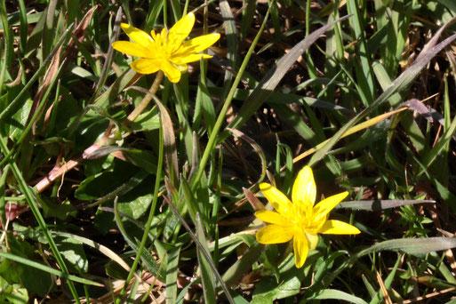 Scharbockskraut - Ranunculus ficaria; Wegböschung neben Obstbaum zu einem Ackerrand bei Auerbach (24.03.2021)