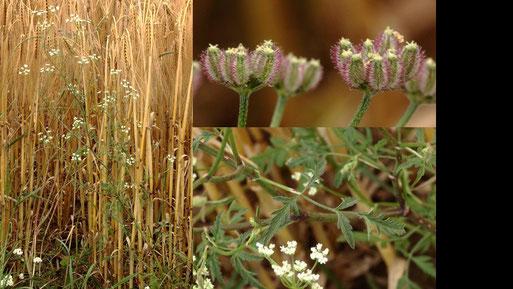 Acker-Klettenkerbel - Torilis arvensis; neben einem Getreidefeld bei Auerbach - ganze Pflanze, Fruchtstand und Blatt (G. Franke, 10.07.2021)