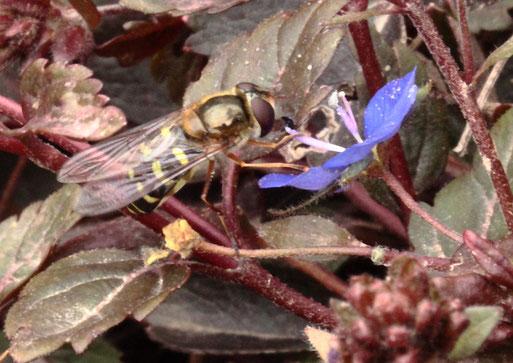 Mondfleck-Schwebfliege auf einer Ehrenpreis-Blüte im Garten bei Kalrsbad-Spielberg (G. Franke, 29.02.2020)