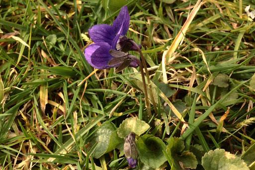 März-Veilchen, auch Wohlriechendes Veilchen genannt - Viola odorata; Rand einer Gartenwiese bei Karlsbad-Spielberg (G. Franke, 08.03.2020)