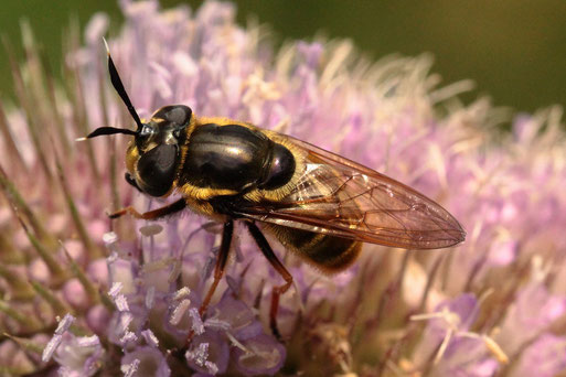 und wieder ein äußerst seltener Gast auf den Blüten der Wilden Karde - die Goldene Glanzschwebfliege - Callicera aurata; ... gleicher Monat und gleicher Ort bei Spielberg (G. Franke, 25.07.2021)