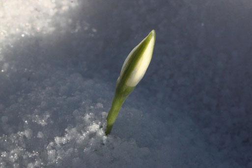 Schneeglöckchen - Galanthus indet.; knospend im Schnee (G. Franke, 10.01.2021)