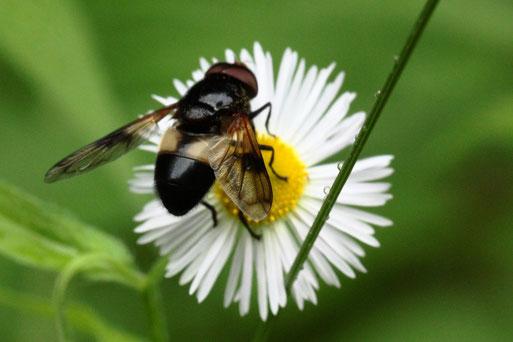 Gemeine Waldschwebfliege - Volucella pellucens; Waldwegrand bei Langenalb auf der Blüte einer Feinstrahlaster (G. Franke, 20.06.2021)