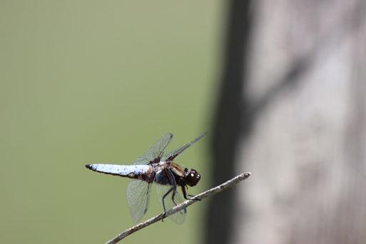 """im Feuchtbiotop auch zu finden die Libellenart """"Plattbauch"""" (Foto: E. Keßler)"""