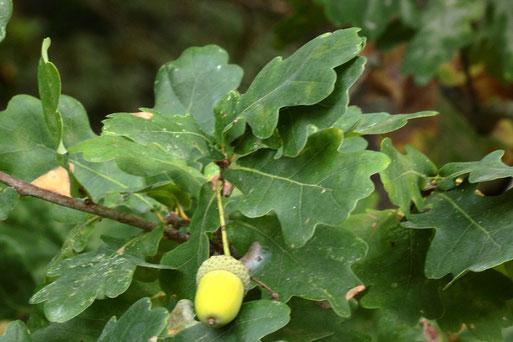 Stiel-Eiche - Quercus robur; Name hat den Ursprung von den gestielten Früchten, die Blätter sitzen am Ast -  Wegrand an der alten Deponie bei Ittersbach (G. Franke, 16.09.2020)