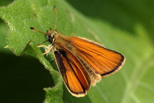 Schwarzkolbiger Braun-Dickkopffalter - Thymelicus lineolus; bei Auerbach (G. Franke, 26.06.2021)