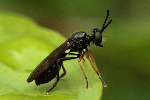 Kleine Habichtsfliege - Dioctria longicornis, aus der Familie der Raubfliegen; ein nur ca. 6 mm langer Jäger wartet auf seinem Ansitz auf Beute, die er im Fluge oder kurz nach der Landung fängt; Beute: z.B. kleine Fliegen, Wanzen .. (G. Franke, 24.06.21)