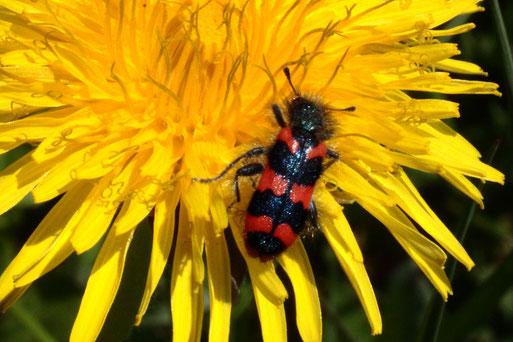 Zottiger Bienenkäfer - Trichodes alvearius; auf einer Löwenzahnblüte - Streuobstwiese bei Spielberg, ca. 10 - 12 mm (Gerold Franke, 27.04.2021)