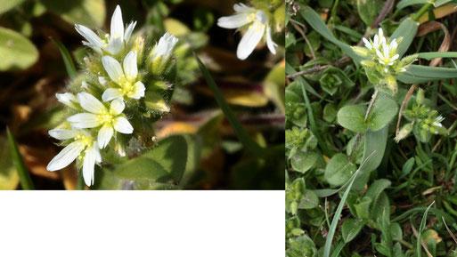 Knäuel-Hornkraut - Cerastium glomeratum; Ackerränder zwischen Langensteinbach und Auerbach (G. Franke, 20.04.2021)