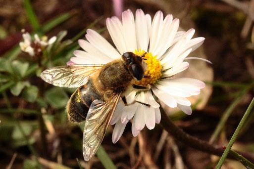 Eristalis tenax - Mistbiene, weiblich - beim Weibchen stehen die Augen weiter auseinander als beim Männchen und die gelben Flecken sind nur auf dem 2. Segment; bei Spielberg (G. Franke, März 2021)