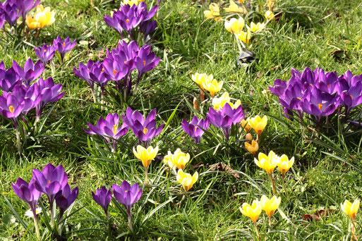 Krokusse in voller Blüte - Garten bei Karlsbad-Spielberg (G. Franke, 08.03.2020)