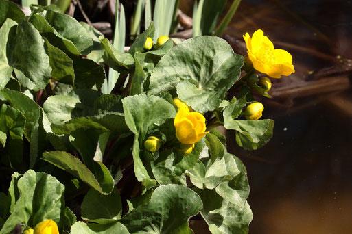 aufblühende Sumpf-Dotterblumen - Caltha palustris, am Gartenteich bei Karlsbad-Spielberg (G. Franke, 28.03.2020)