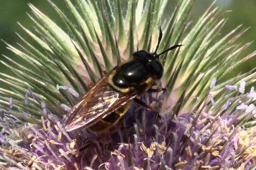 Goldene Glanzschwebfliege - Callicera aurata; extrem selten,  ungenügender Datenbestand zu dieser Art; hier bei Karlsbad-Spielberg auf den Blüten der Wilden Karde (G. Franke, 19.07.2020) Bestätigung der Art im Diptera-Forum