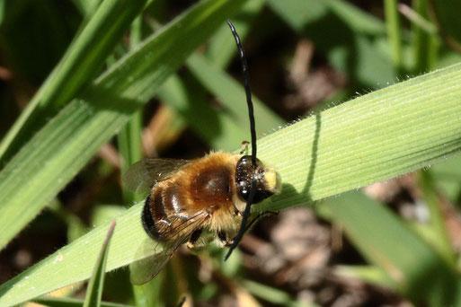 Mai-Langhornbiene - Eucera nigrescens; ruht sich aus auf einer Streuobstwiese bei Karlsbad-Spielberg (G. Franke, 14.04.2020)