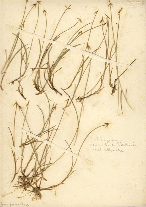 Carex pauciflora (Armblütige Segge) - seltene Seggenart, meist auf nährstoffarmen, sauren Torfböden anzutreffen, auch im Schwarzwald und im Alpenvorland