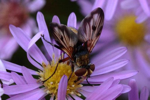 Breitflügelige Raupenfliege - Ectophasia crassipennis, männlich; Blütenbesuch bei Spielberg (G. Franke, 07.10.2021)