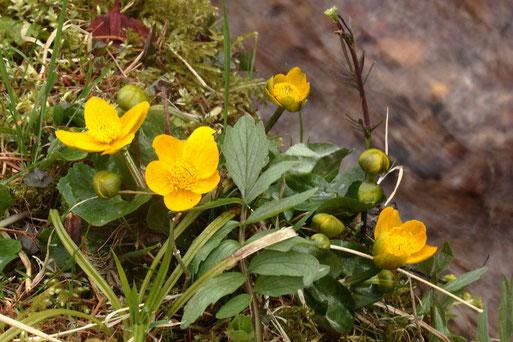 Sumpfdotterblume - Caltha palustris, an einem Bergbach bei Zieflensberg, Nähe Bad Herrenalb (G. Franke, 27.03.2019)