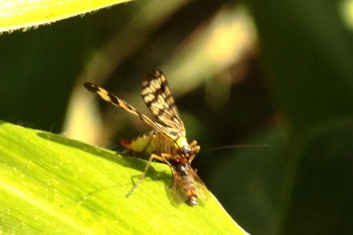 Weiden-Skorpionsfliege - Panorpa vulgaris, mit Beute, einer kleinen Schwebfliege; an einem Maisfeldrand zwischen Langensteinbach und Auerbach (G. Franke, 01.09.2021)
