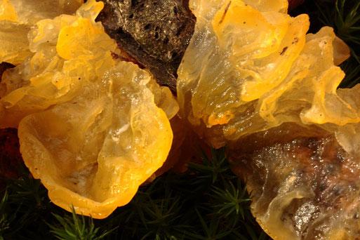 Goldgelbe  Zitterlinge an einem abgebrochenen Laubholzast zwischen Karlsbad-Langensteinbach und Ittersbach; ein gallertartiger Pilz (G. Franke, 14.01.2020)