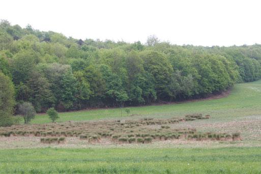 Gattung Carex (Segge) in der Umgebung von Karlsbad und Waldbronn