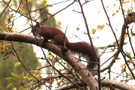 Eichhörnchen - Garten bei Karlsbad-Spielberg (G. Franke, 16.09.2021)
