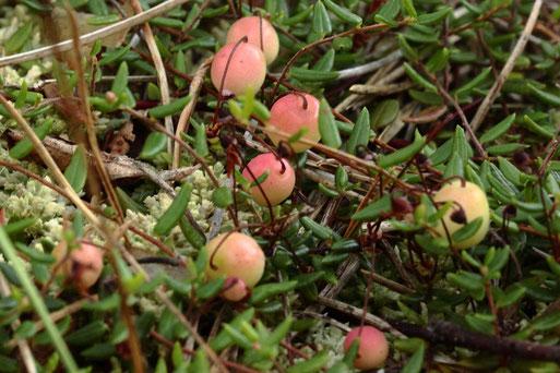 Gemeine Moosbeere - Oxycoccus palustris - reifende Beeren im Waldmoor bei Würzbach (G. Franke, 23.07.2020)