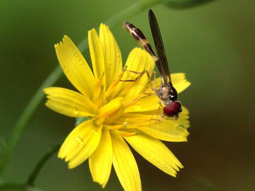 Gemeine Schattenschwebfliege - Baccha elongata; ca. 6 - 8 mm, Waldwegrand bei Karlsbad-Ittersbach auf Rainkohl-Blüte, relativ selten (G. Franke, 16.06.2020)