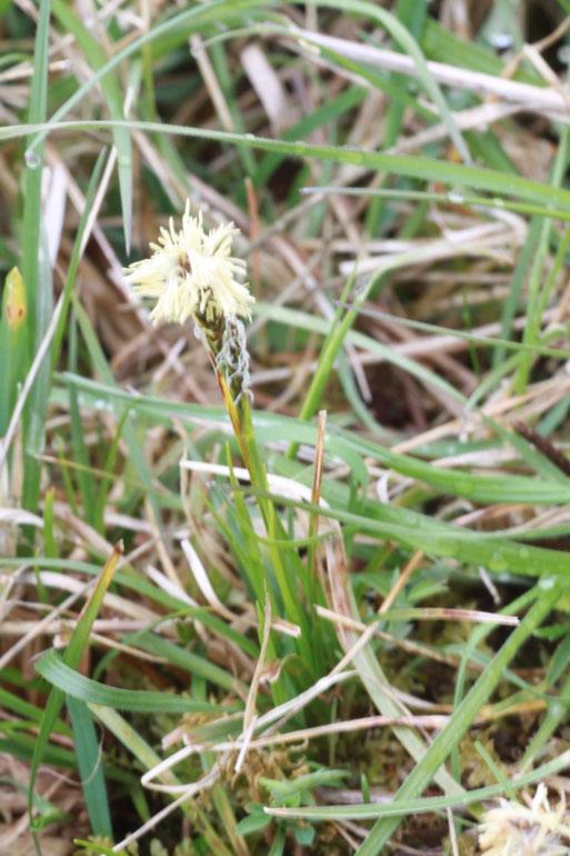 Frühlings-Segge (Carex caryophyllea) bei Pfinzweiler auf einer mageren Streuobstwiese