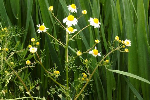 Echte Kamille - Matricaria recutita; Ackerrand zwischen Langensteinbach und Auerbach, Blütenboden gewölbt und hohl, starker Kamillegeruch (G. Franke, 27.05.2021)
