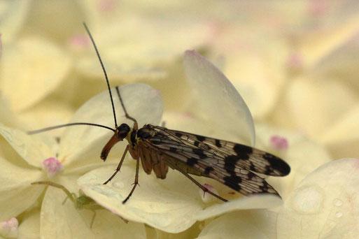 Weiden-Skorpionsfliege - Panorpa vulgaris; im Garten - ruht auf Hortensienblüten (G. Franke, 28.08.2021)