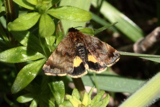 Hornkraut-Tageulchen - Panemeria tenebrata, ein Schmetterling aus der Familie der Eulenfalter; Spannweite ca. 20 mm; Streuobstwiese bei Karlsbad-Spielberg (G. Franke, 14.04.2020)