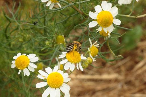 Wildbiene auf einer Kamillenblüte (G. Franke)