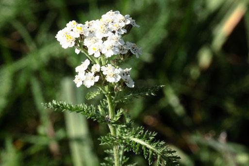 Gewöhnliche Schafgarbe - Achillea millefolium; Rand eines Wiesenweges bei Karlsbad-Spielberg; auch Ende Oktober noch blühend (G. Franke, 31.10.2020)