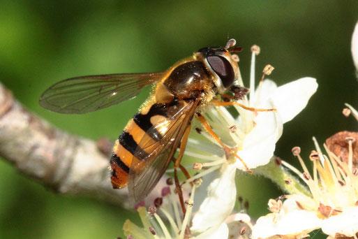 Gelbhaarige Wiesenschwebfliege - Epistrophe metanostoma; Blütenbesuch im Garten; eine der ca. 400 Schwebfliegenarten Mitteleuropas - nicht immer einfach auseinander zu halten; Danke für die Bestimmungshilfe im Diptera-Forum(G. Franke, 13.05.21, Spielberg)