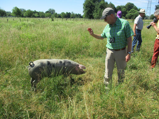 Freihaltung der Landschaft - Biotoppflege durch eine bestimmte Schweinerasse (Foto: R. Langetepe)