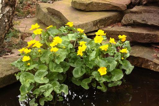 Sumpf-Dotterblumen im Gartenteich - ein wichtiger Bestandteil des naturnahen Gartens  (G. Franke, 09.04.2019)