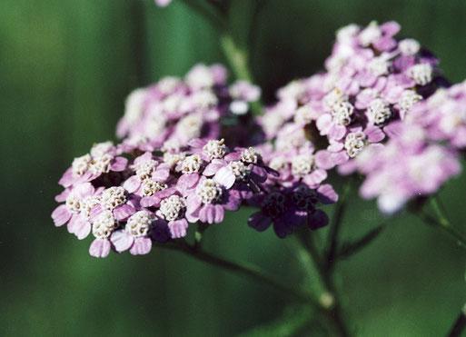Gewöhnliche Schafgarbe - Achillea millefolium - Unterart  (G. Franke)