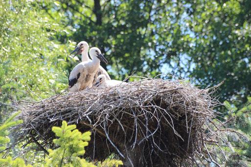 Storchennest mit Jungstörchen (Foto: E. Keßler)