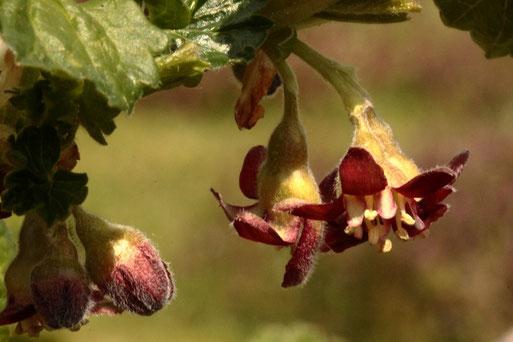 Jochelbeerblüten - Ribes x nidigrolaria, eine Kreuzung zwischen Johannisbeere und Stachelbeere (G. Franke, 17.04.2021, Spielberg)