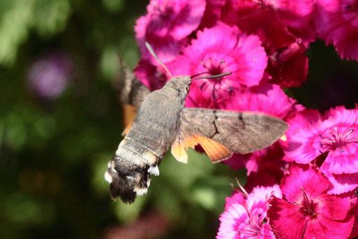 Taubenschwänzchen an den Blüten der Bartnelke - Karlsbad-Spielberg, gehört zur Familie der Schwärmer und ist als Wanderfalter in fast ganz Europa bekannt; das Flugverhalten ähnelt dem eines Kolibris (G. Franke, 21.06.2019)