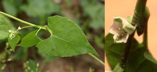 Gewöhnlicher Windenknöterich - Fallopia convolvulus; niederliegend-windend - hier ca. 50 cm Länge; Länge Blütenblatt ca. 3 mm - Ackerrand bei Auerbach (G. Franke, 17.07.2021)