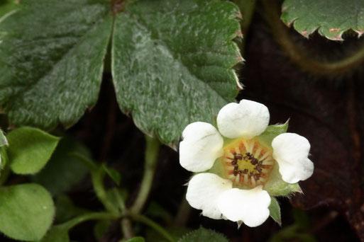 Blühendes Erdbeer-Fingerkraut - Potentilla sterilis; in diesem Jahr bereits Anfang März (G. Franke, 03.03.2020)