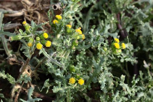 Gewöhnliches Greiskraut - Senecio vulgaris; Ackerrand zwischen Langensteinbach und Auerbach; häufig (G. Franke, 04.02.2021)