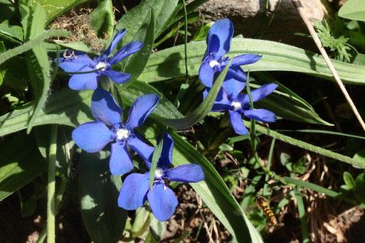 Frühlings-Enzian, Gentiana verna (G. Franke, 26.06.2019)
