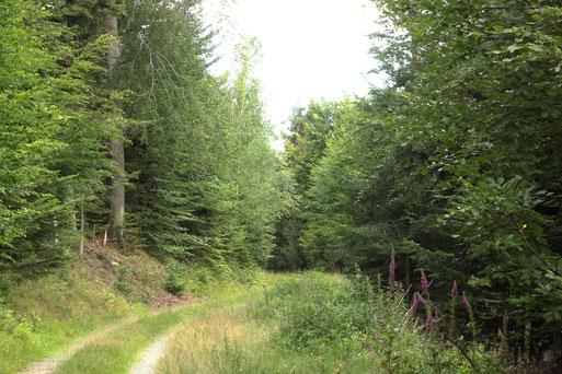 lohnenswerte Kurzwanderung rund um den Aizenberg am Käpple zwischen Bad Herrenalb und Loffenau, ca. 650 m. ü. NN (G. Franke, 05.07.2020)
