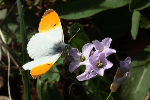 Aurorafalter auf Blüten des Wiesen-Schaumkrautes auf einer Wiese am Feldrennacher Bach (G. Franke, 22.04.2019)