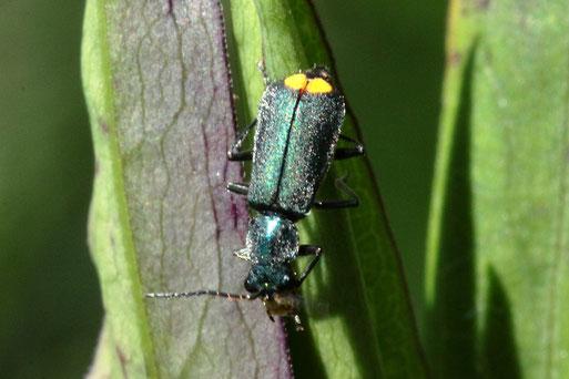 Gelbstirniger Warzenkäfer - Clanoptilus elegans; Rote Liste D 3 - gefährdet; bei Karlsbad-Spielberg (G. Franke, 20.06.2020) bestätigt durch kerbtier.de
