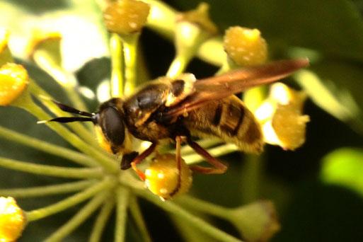 eine sehr seltene Schwebfliegenart im Garten bei Karlsbad-Spielberg auf Efeublüten; die Goldene Schwebfliege - Callicera spinolae, weibl., eine typische Herbstart (G. Franke, 12.11.19) - Bestimmung im Diptera-Forum - Danke