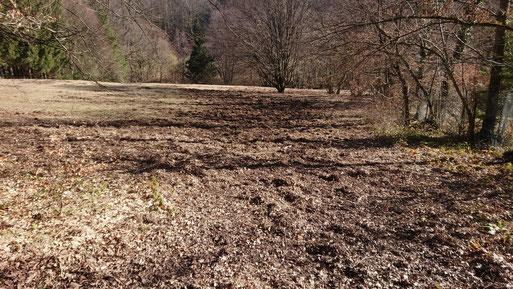 von Wildschweinen umgepflügte orchideenreiche Magerwiese - Kleines Knabenkraut, Stattliches Knabenkraut , leider nicht die einzige Fläche (G. Franke, 17.02.2019)