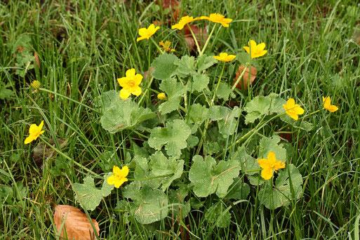 Sumpf-Dotterblume - Caltha palustris; 2. Blüte, Mitte November; Feuchtwiese bei Karlsbad-Auerbach (G. Franke, 17.11.2020)